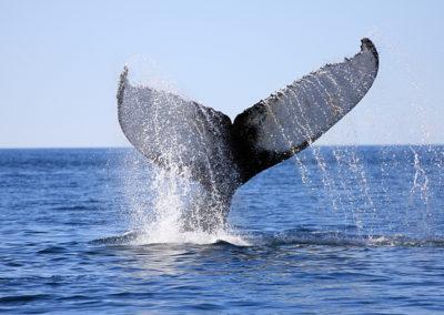 Whale: © navin75: https://flic.kr/p/217KmbN